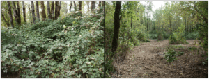 blackberry-removal-in-forested-area