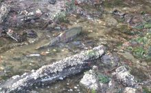 Stream-and-Salmon-Habitat-Restoration