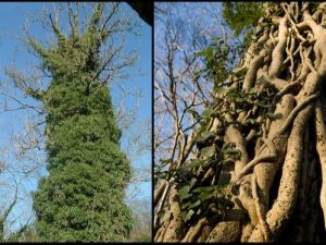 English-ivy-growing-up-a-tree