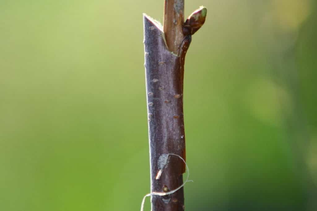 pear-tree-graft