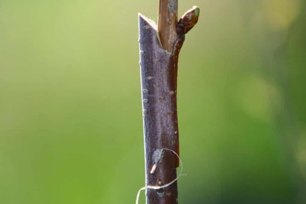 pear-tree-graft