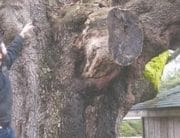 Bo-baggins-tree-evaluation-certified-arborists