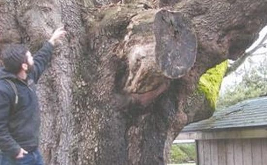 Bo Baggins Tree evaluation and analysis by professional arborists.