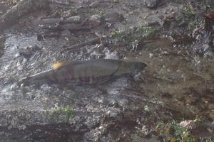fish-weirs-park-salmon-streams