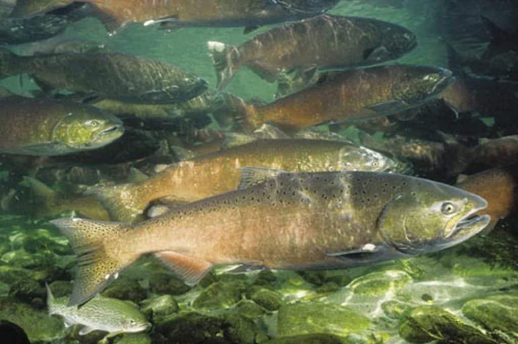 salmon-in-streams