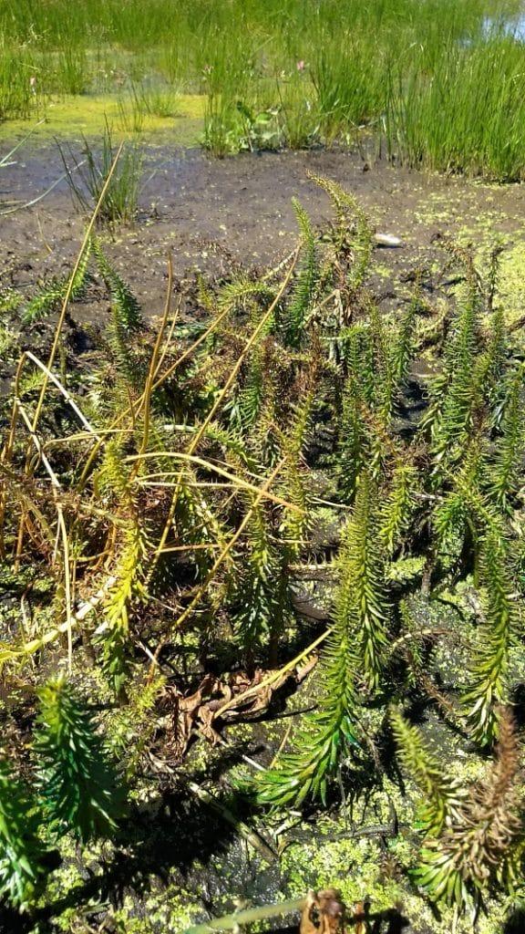 wetland-ecosystem-invasive-plants