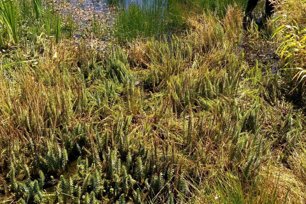 wetland-ecosystem-invasive-plants