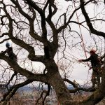 Tree_pruning_Garry_Oak