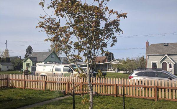 Maple_tree_planting