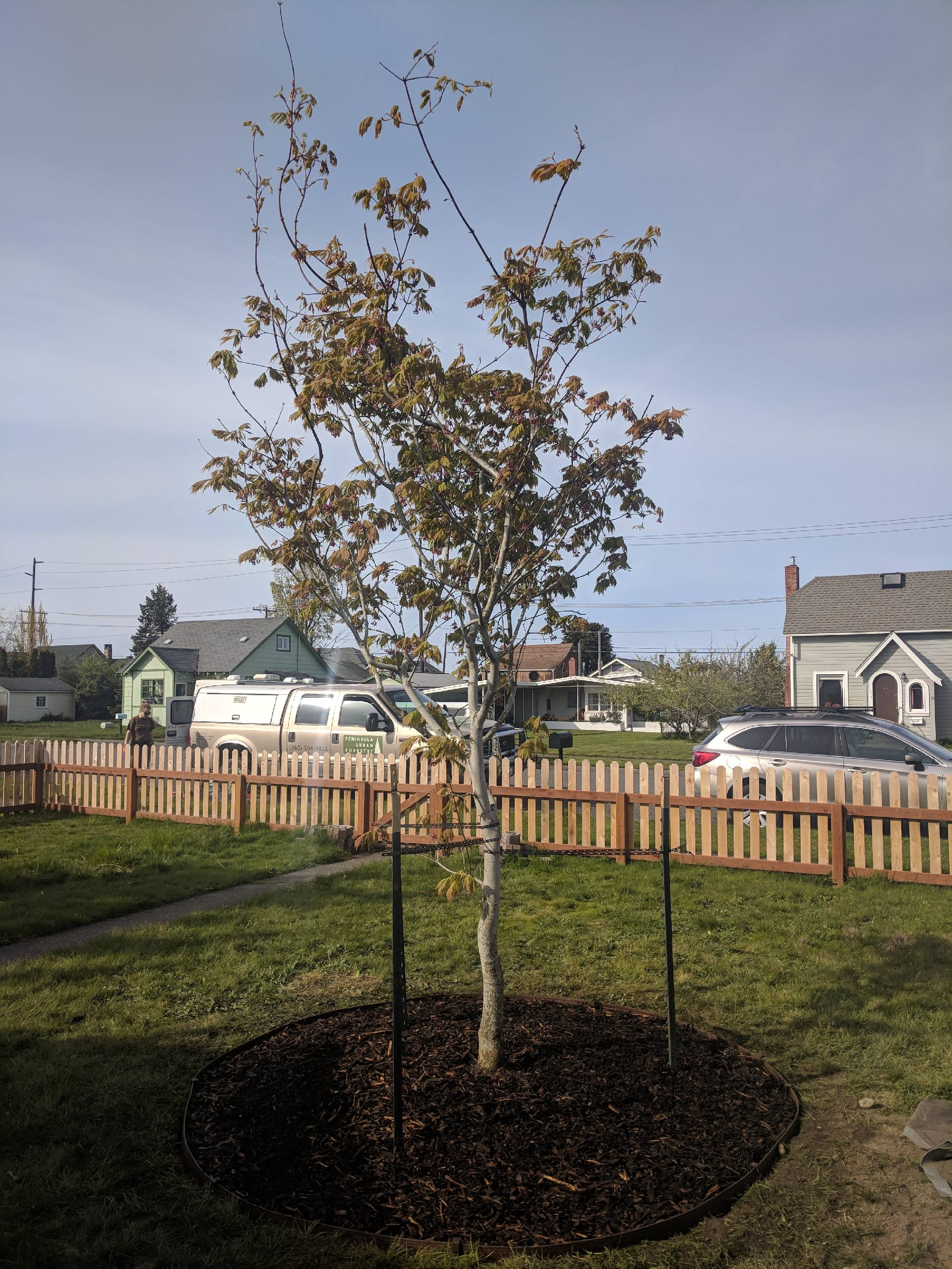 Maple_tree_planting