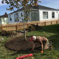 Large_Maple_Planting