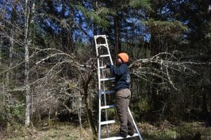 Arborist_pruning_fruit_trees
