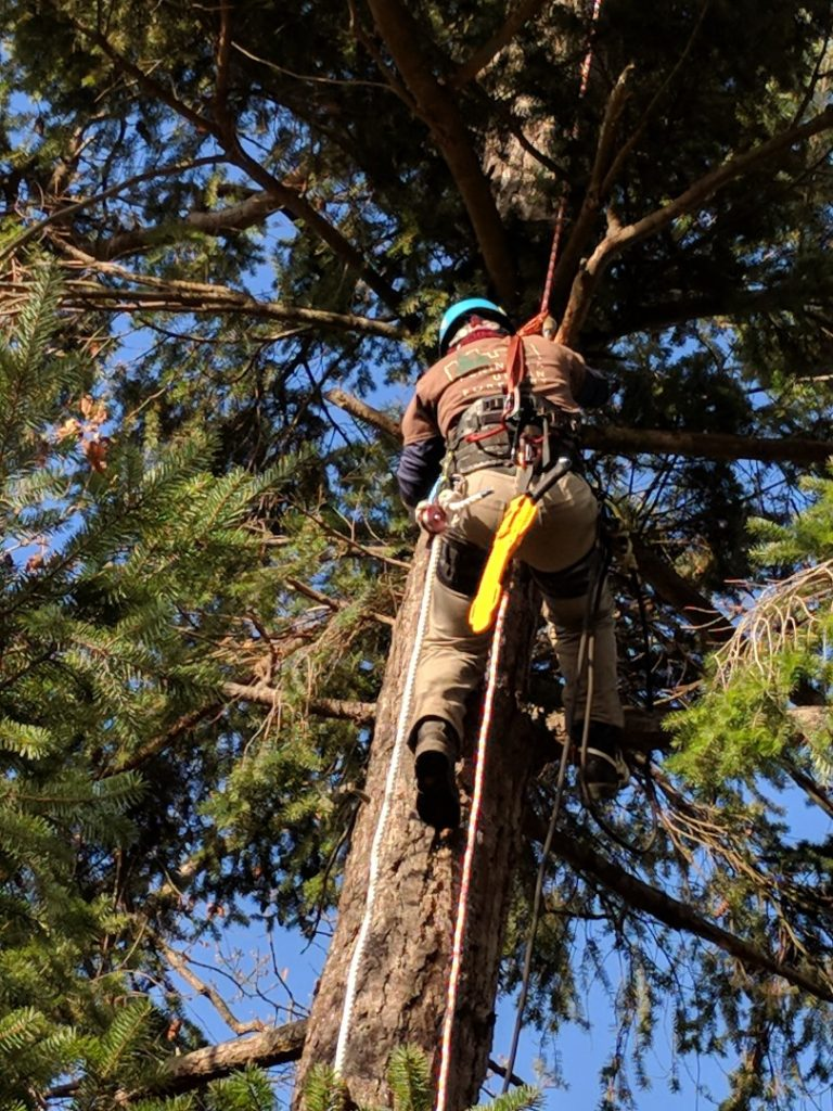 Arborist performing tree inspection.