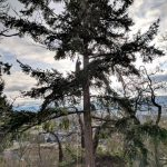climbing_arborist