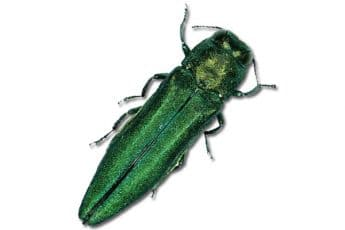 emerald_ash_borer_invasive_pest