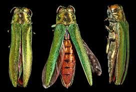 emerald_ash_borer_invasive_insect