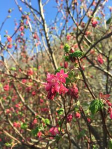 ribes_flowering
