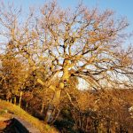 Sequim-garry-oak-pruning