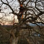 garry-oak-tree-pruning-sequim-washington