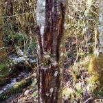 Bear scratches on red alder tree