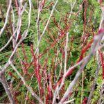 Vaccinium parvifolium red huckleberry plant
