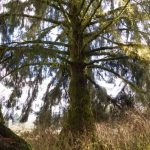Very large sitka spruce tree